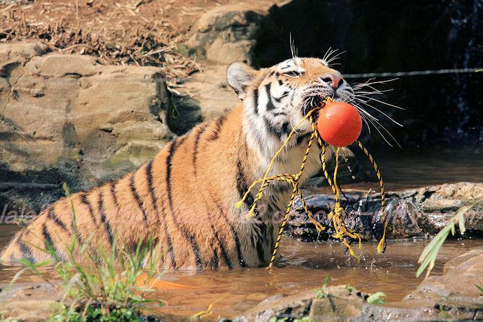 Tigers201308222_3
