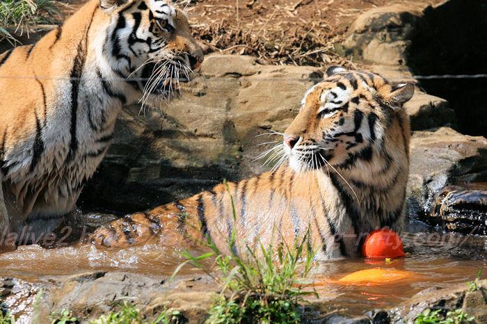 Tigers201308223