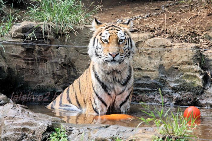 Tiger_ball20130822