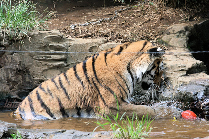 Tiger_ball201308221
