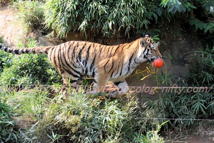 Tiger_ball2013082210