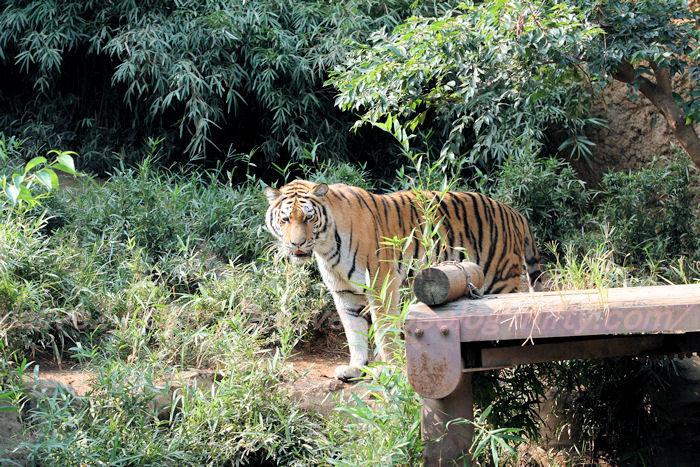 Tiger_ball2013082212
