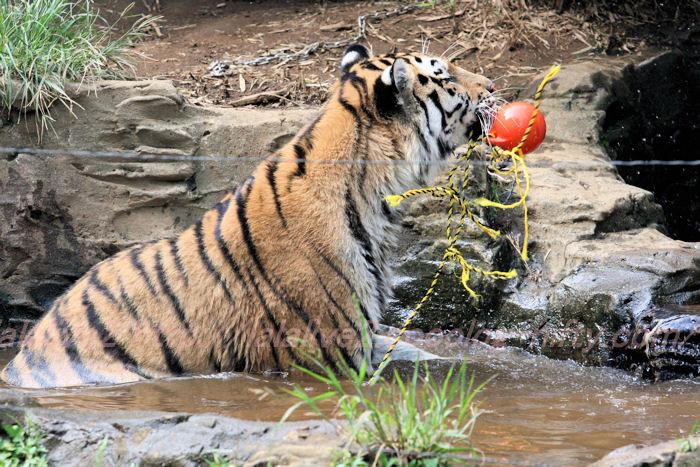 Tiger_ball201308222