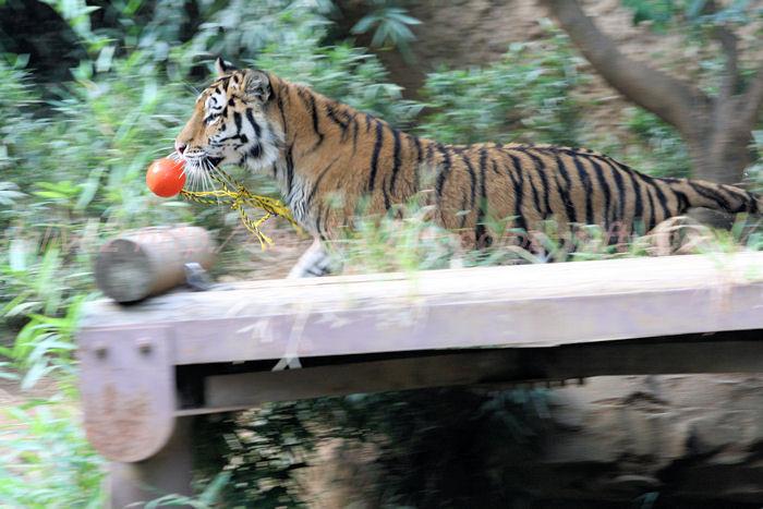 Tiger_ball201308224_2