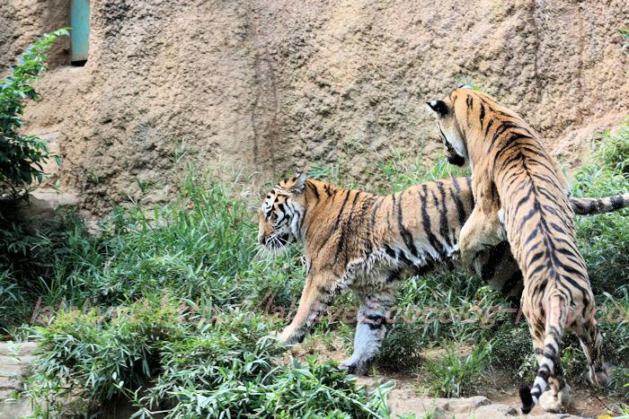 Tiger_ball201308226