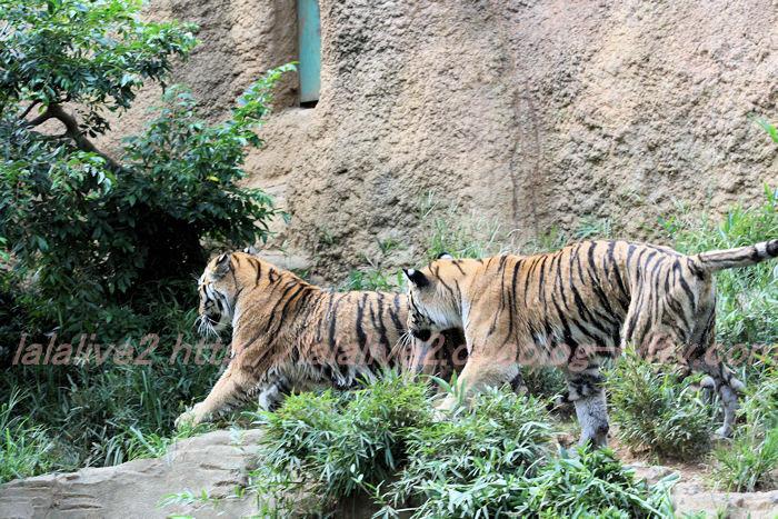 Tiger_ball201308227