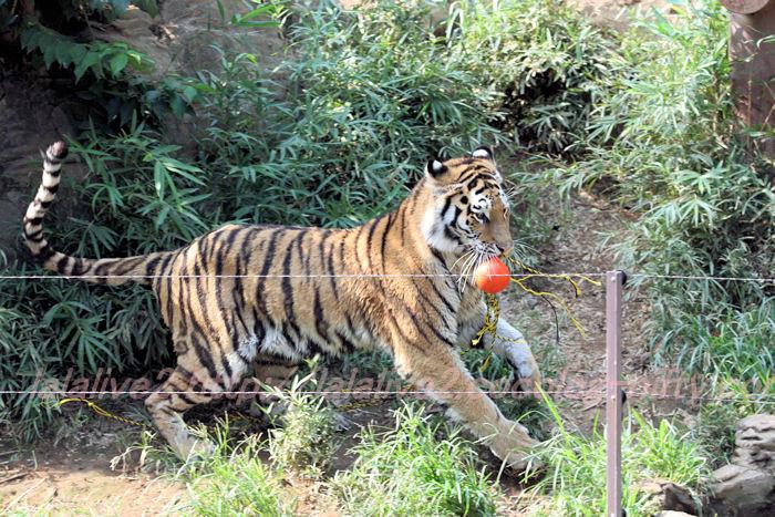 Tiger_ball201308229