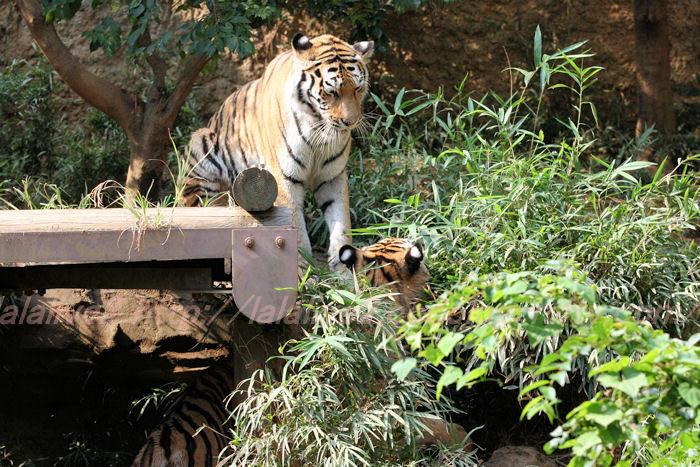 Tigerball20130822