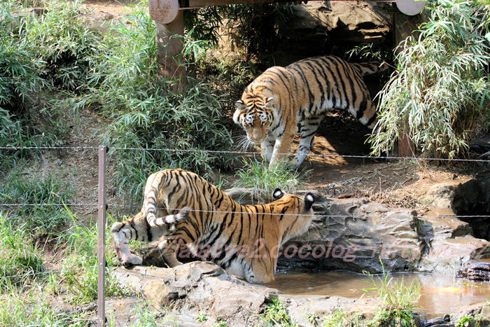 Tigerball201308222