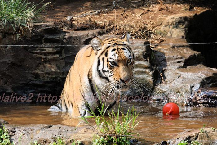 Tigerball201308224