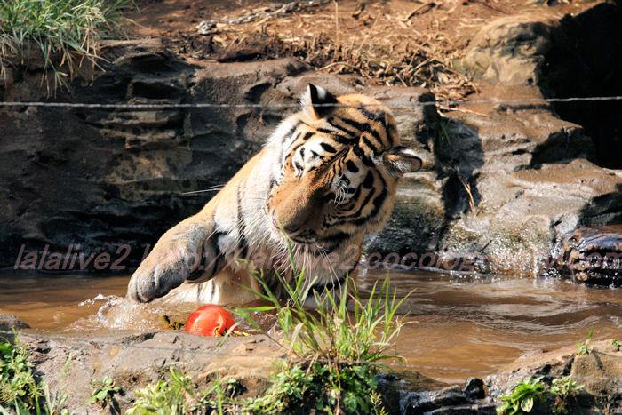 Tigerball201308226
