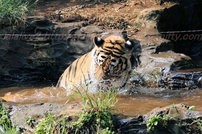 Tigerball201308228