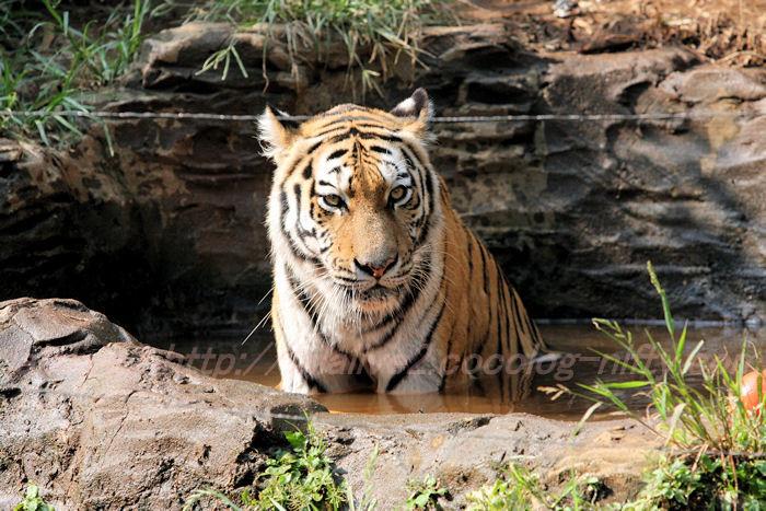 Tigerball201308229