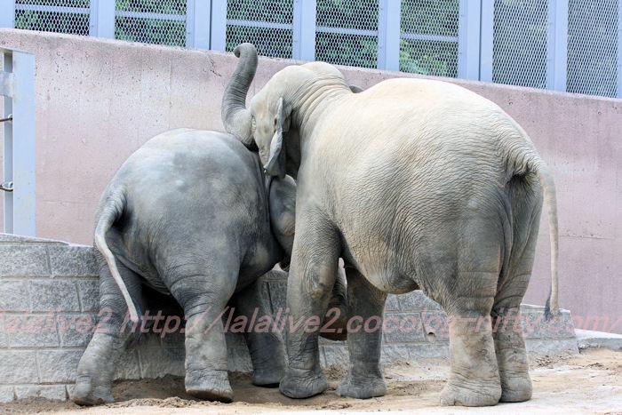 Elephants201308222