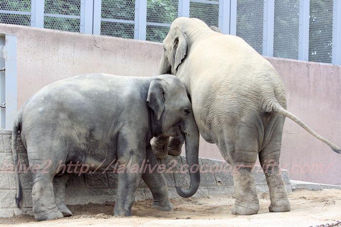 Elephants201308224