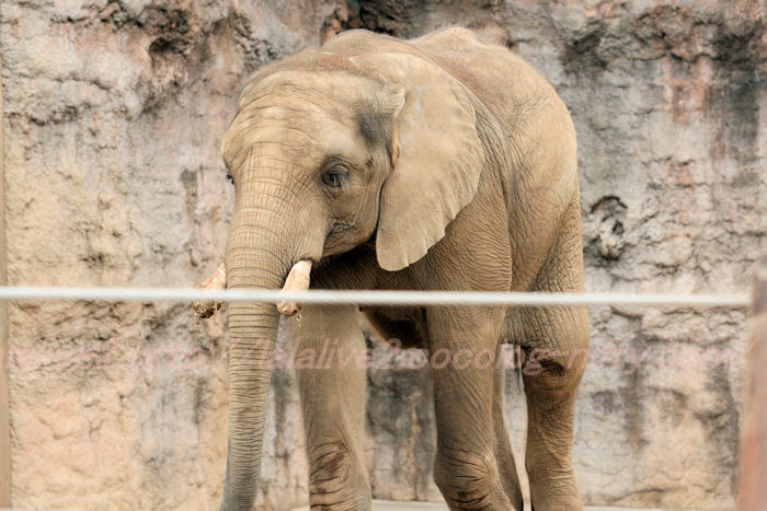 African_elephant20130822