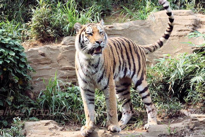 Tigerai