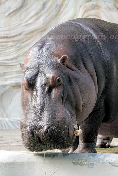 Hippo20131008