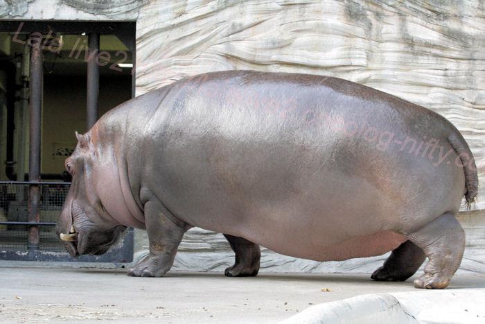 Hippopotamus201310082
