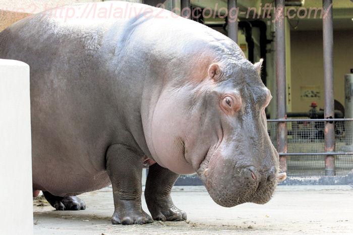 Hippopotamus201310083