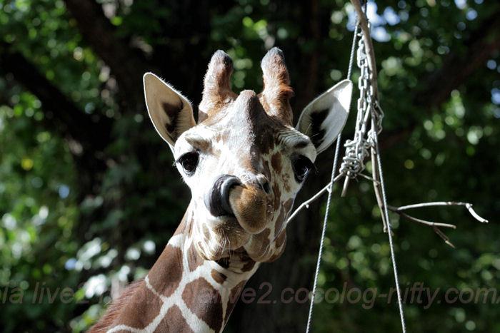 Giraffe20131008