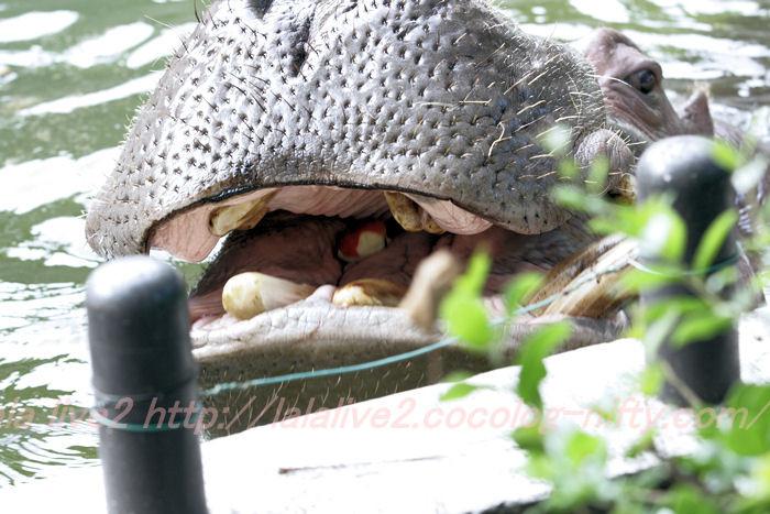 Hippopotamusjiro201310081