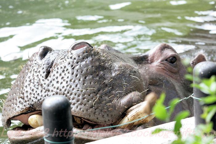 Hippopotamusjiro201310082