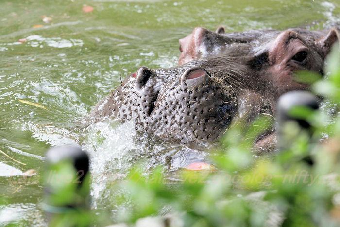 Hippopotamusjiro201310084