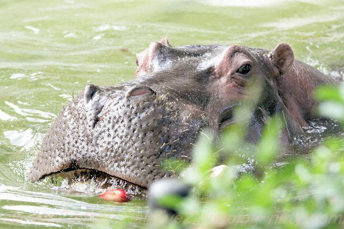 Hippopotamusjiro201310086