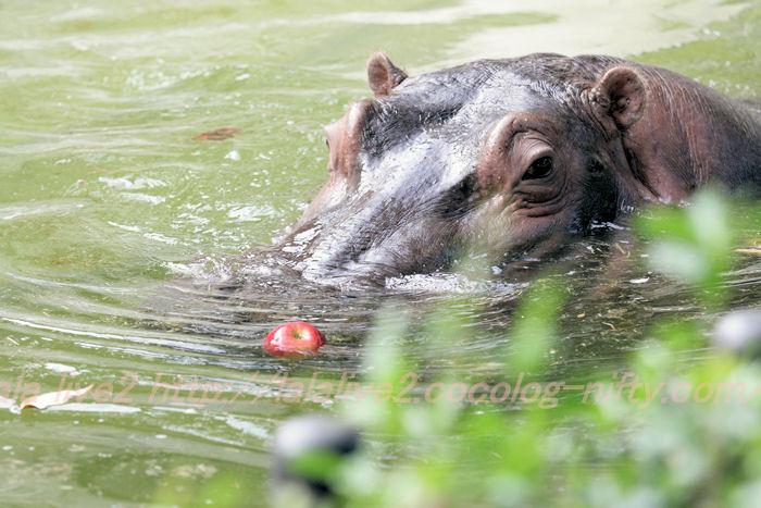 Hippopotamusjiro201310087