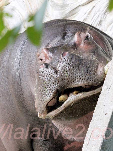 Hippopotamusjiro2013100810jpg_2