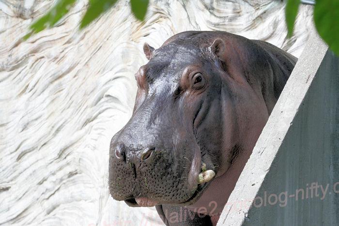 Hippopotamusjiro2013100811jpg