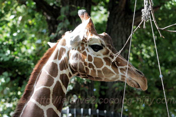 Giraffe201310081