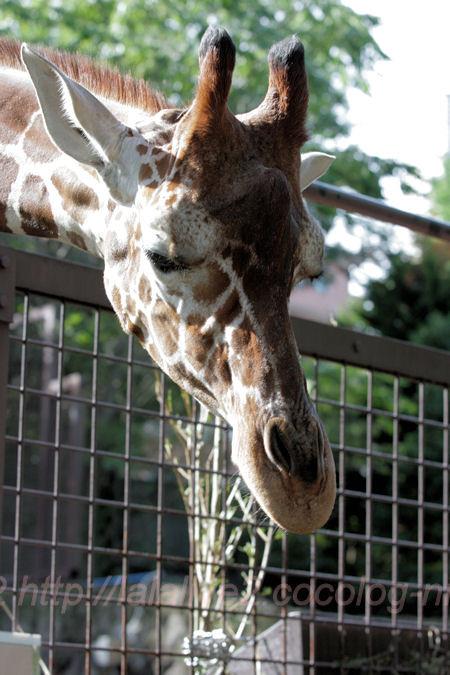 Giraffe201310082