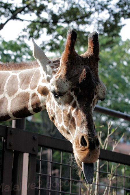 Giraffe201310083_2