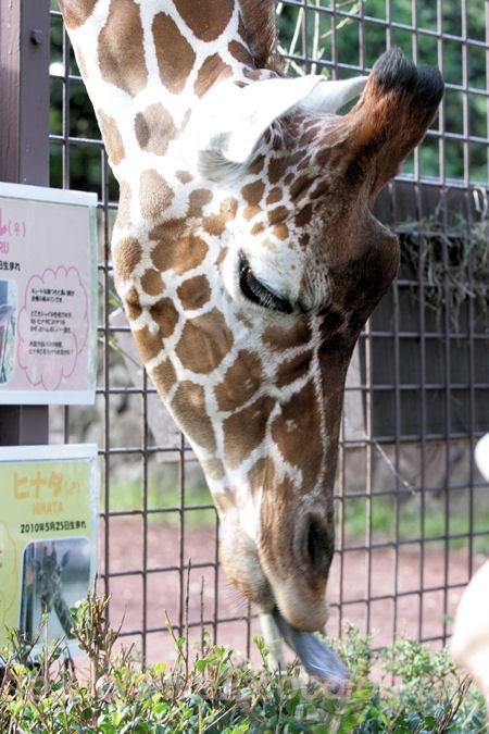 Giraffe201310084