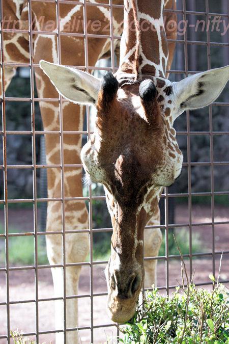 Giraffe201310085