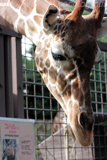 Giraffe201310086