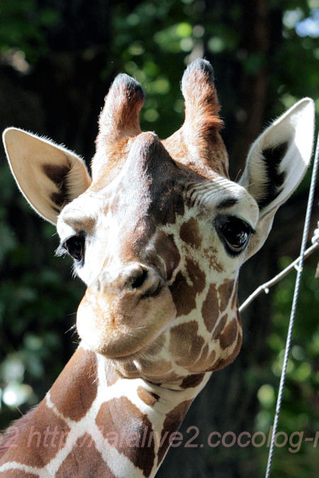 Giraffe201310088