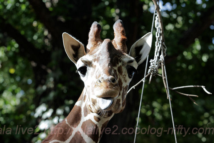 Giraffe2013100812_2