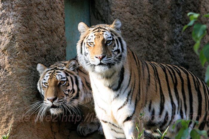 Tigers201311291