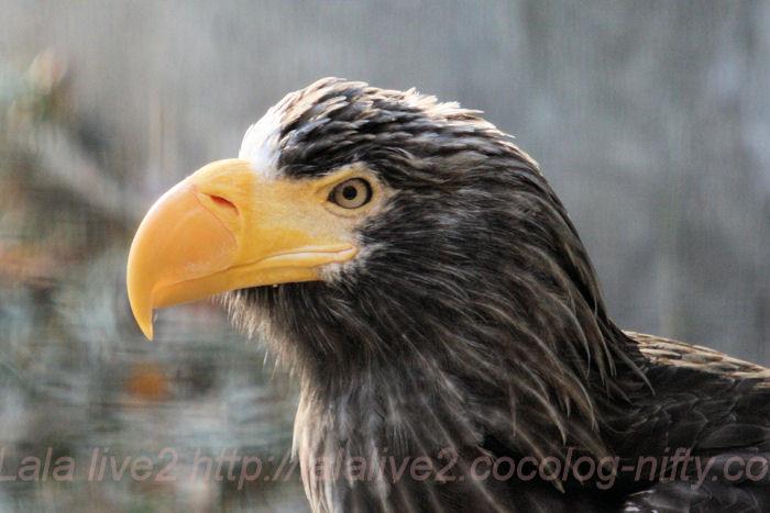 Stellers_sea_eagle201311291