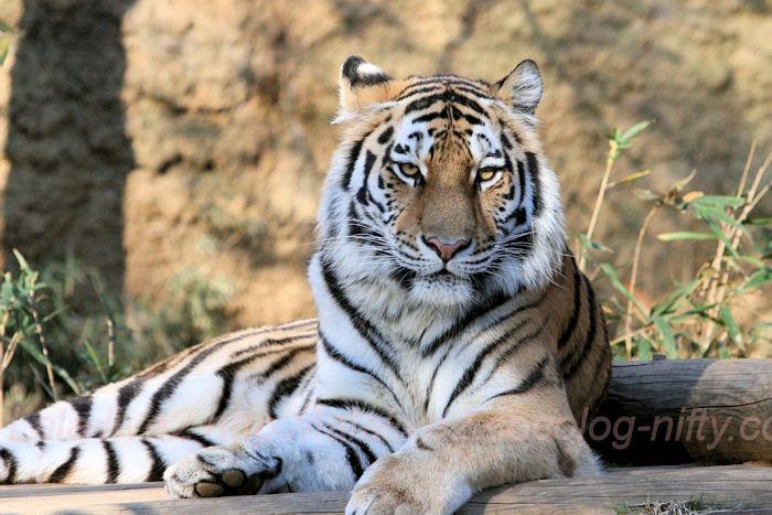 Tigers201311292