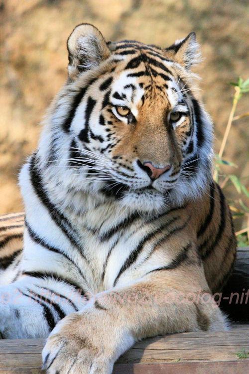 Tigers201311293