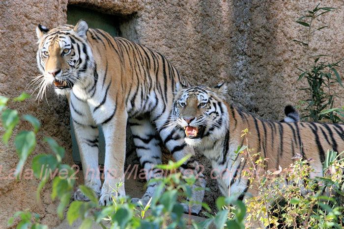 Tigers201311294