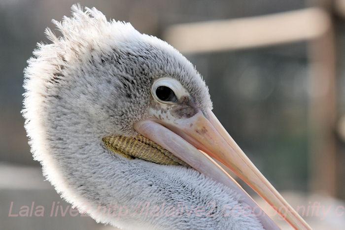 Pelican20140203