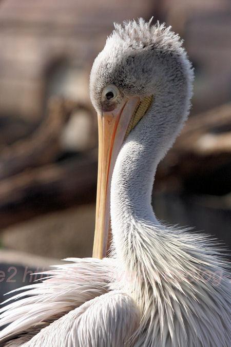 Pelican201402031