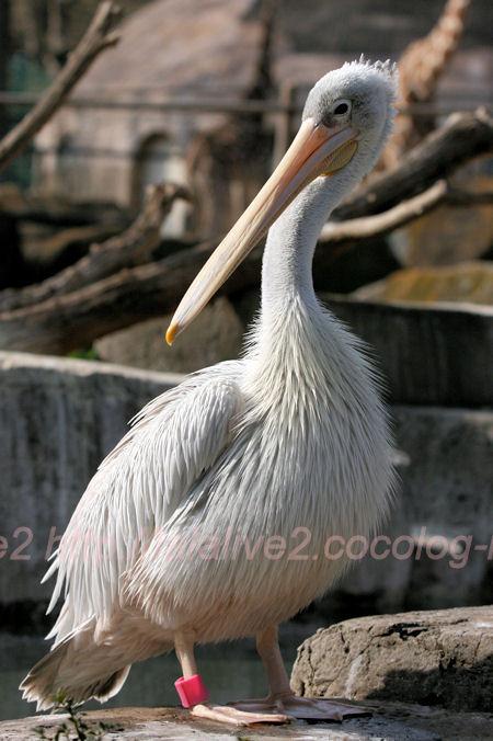 Pelican201402035