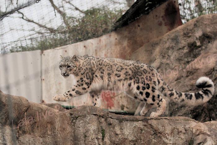 Snowleopard20140203asahi