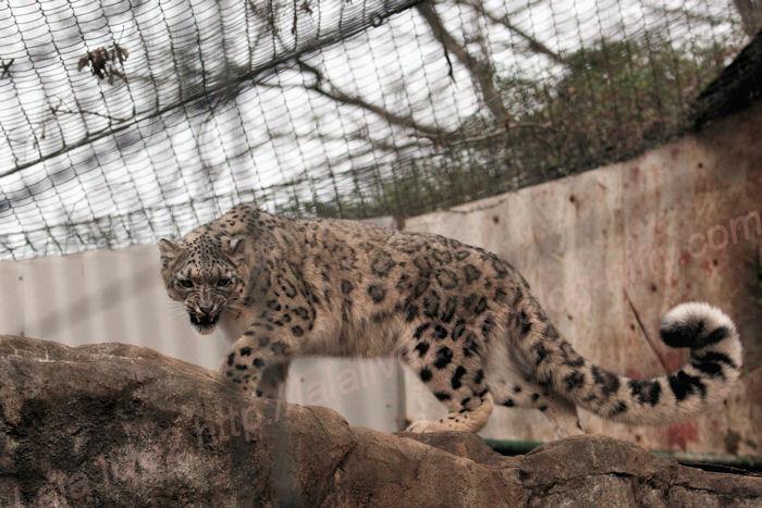 Snowleopard20140203asahi1